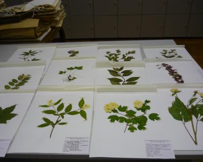 Гербарий-растений-БС